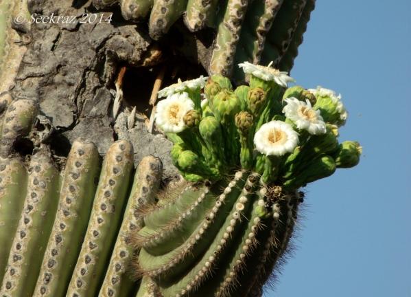 Saguaro blossom.