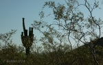 Saguaro Cactus with Greasewood