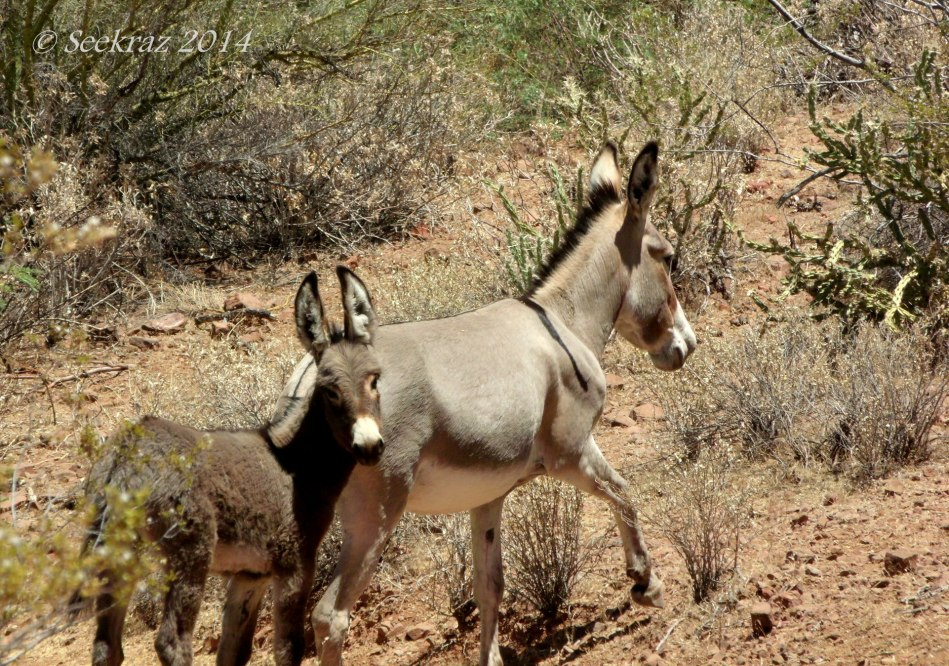 Mama and baby Burro, Lake Pleasant, Arizona