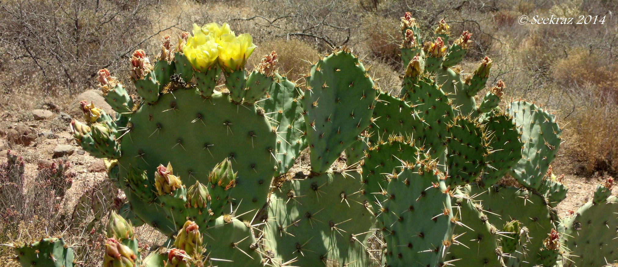 Prickly-Pear cactus | Scott's Place...Images and Words
