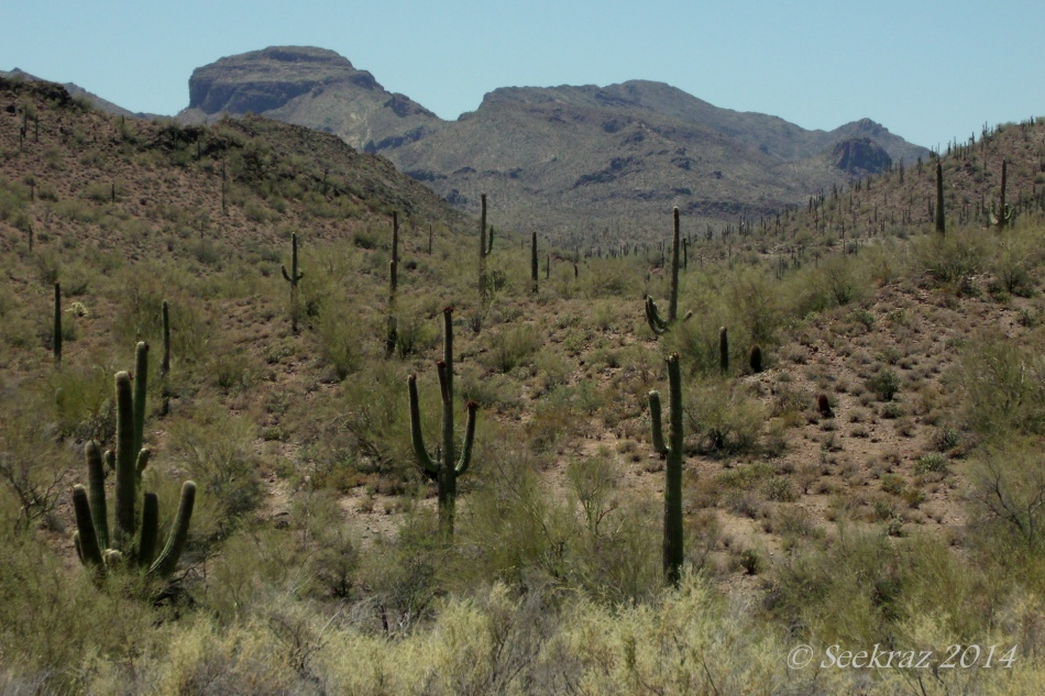 Saguaro Cacti and mountain