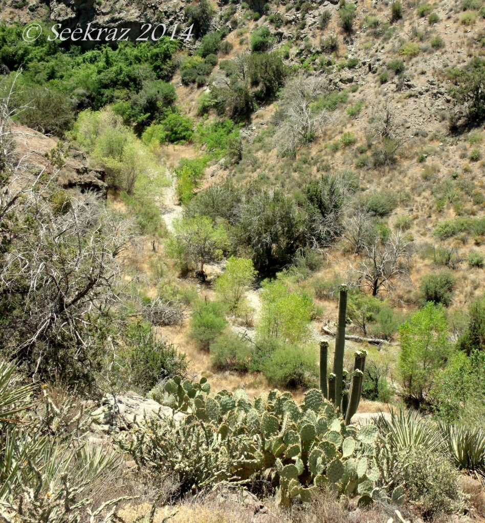 Saguaro and Prickly Pear Cacti downhill perspective