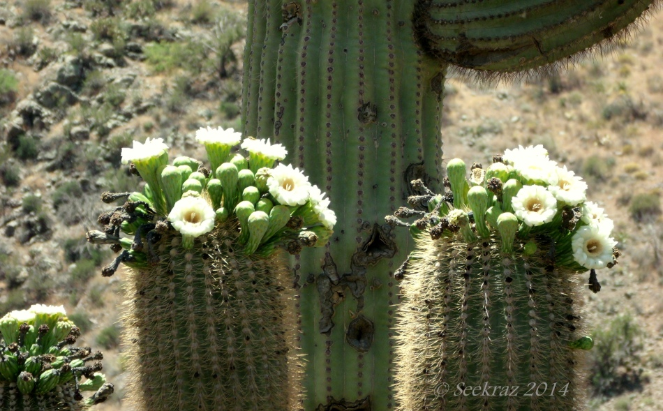 Saguaro Cactus blossoms