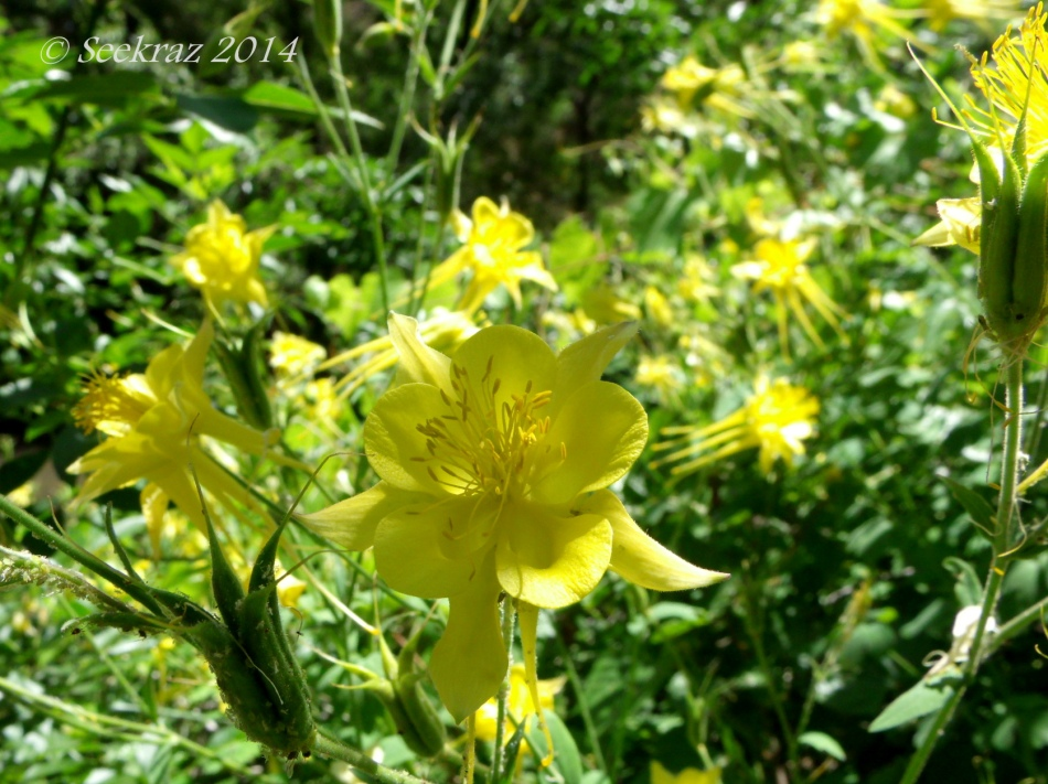Seven Springs Yellow Columbine