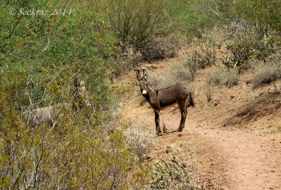 Wild Burro baby, Lake Pleasant, Arizona