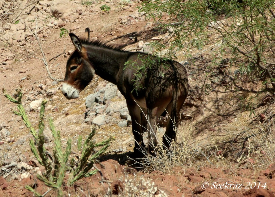 Wild Burro, Lake Pleasant, Arizona