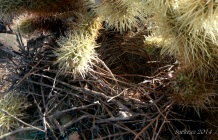 Bird's nest in Teddy Bear Cholla