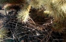 Bird's nest in Teddy Bear Cholla