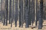 Burned forest above Walnut CanyonArizona