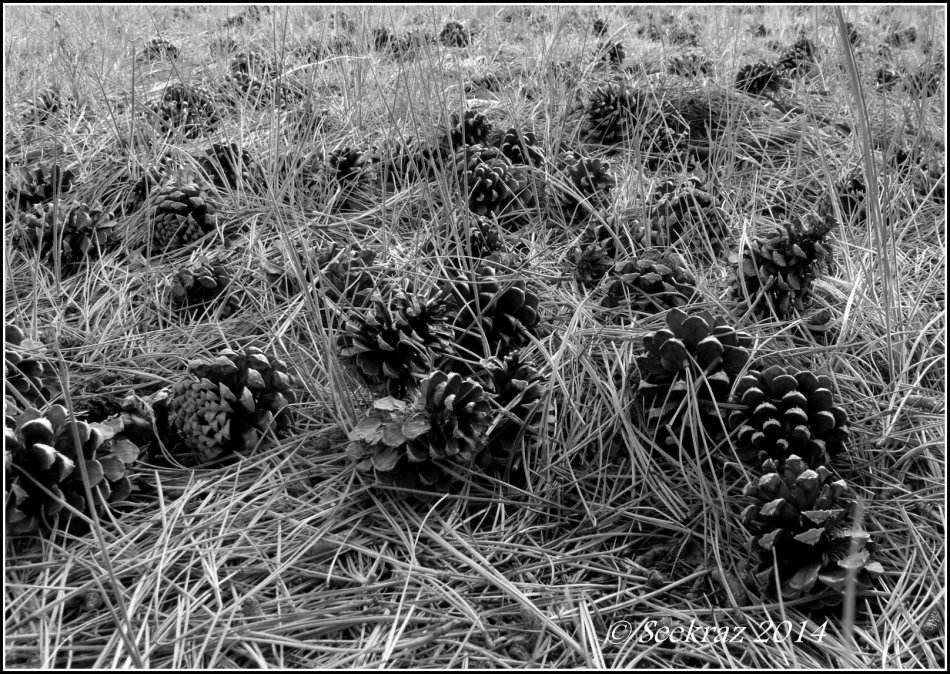 Ponderosa Pine cones in black and white