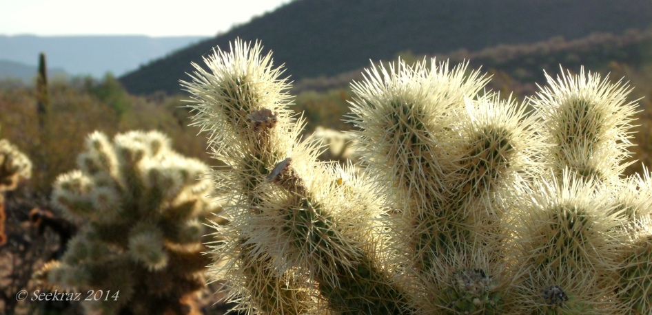 Teddy Bear Cholla with Saguaro