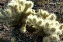 Teddy Bear Cholla with nest