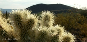 Teddy Bear Cholla sunrise