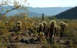 Teddy Bear Cholla in Desert Hills of north Phoenix,Arizona
