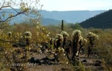Teddy Bear Cholla in Desert Hills of north Phoenix, Arizona
