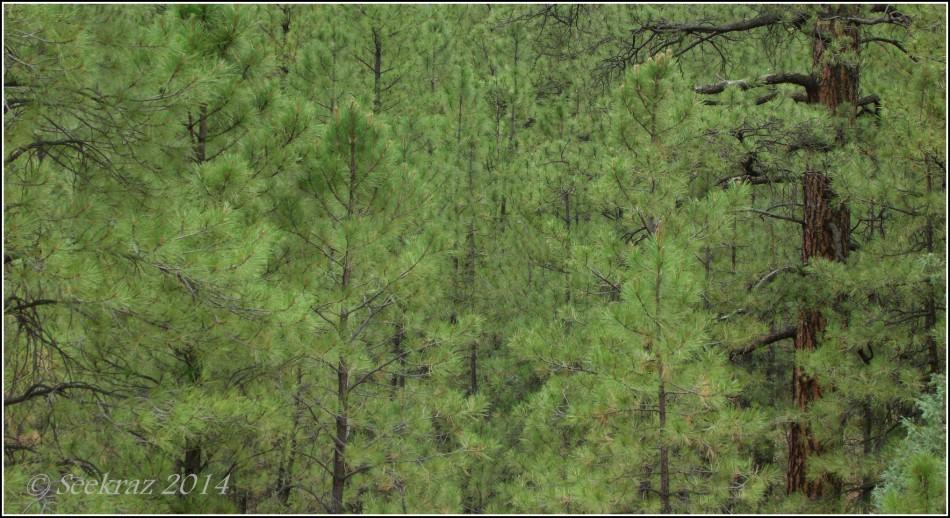 Ponderosa Pine forest, Walnut Canyon, Arizona