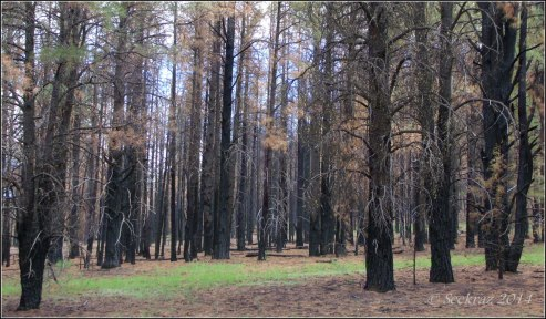 Walnut Canyon forest after Fisher Fire