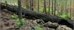 Charred tree trunk after Fisher Fire in Walnut CanyonArizona