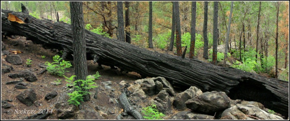 Charred tree trunk after Fisher Fire in Walnut Canyon Arizona