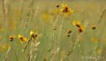 Yellow wildflowers of Marshall Lake, Arizona2