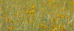 Yellow wildflowers of Marshall Lake, Arizona1