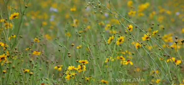 Yellow wildflowers of Walnut Canyon, Arizona 2