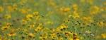 Yellow wildflowers of Walnut Canyon, Arizona3