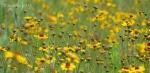 Yellow wildflowers of Walnut Canyon, Arizona4