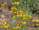 Yellow wildflowers of Walnut Canyon,Arizona