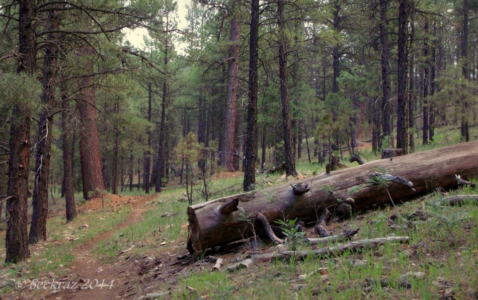 Ponderosa Pine, Coconino National Forest, Flagstaff, Arizona