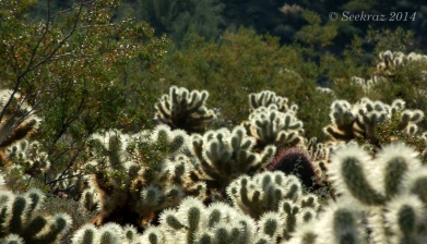 Morning glow of Teddy Bear cacti