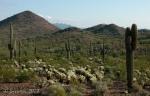 Multitude of Saguaro cacti on Desert Hillsmorning