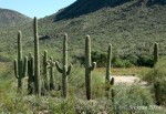 saguaro cacti before mountainslope