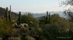 Saguaro cacti desertmorning