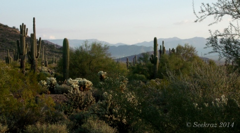 Saguaro cacti desert morning