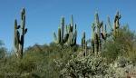 saguaro cacti largecollective