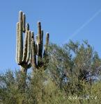 saguaro cacti multi-armedduo