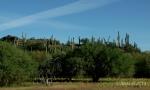 saguaro cacti onhilltop