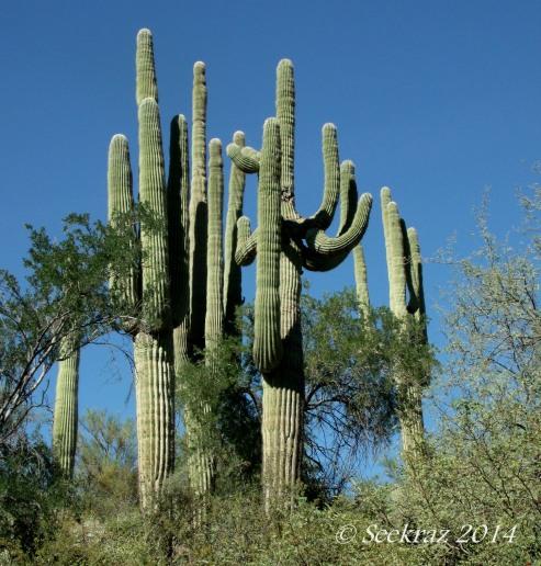 saguaro cacti quintet