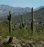 saguaro cacti trio inforeground