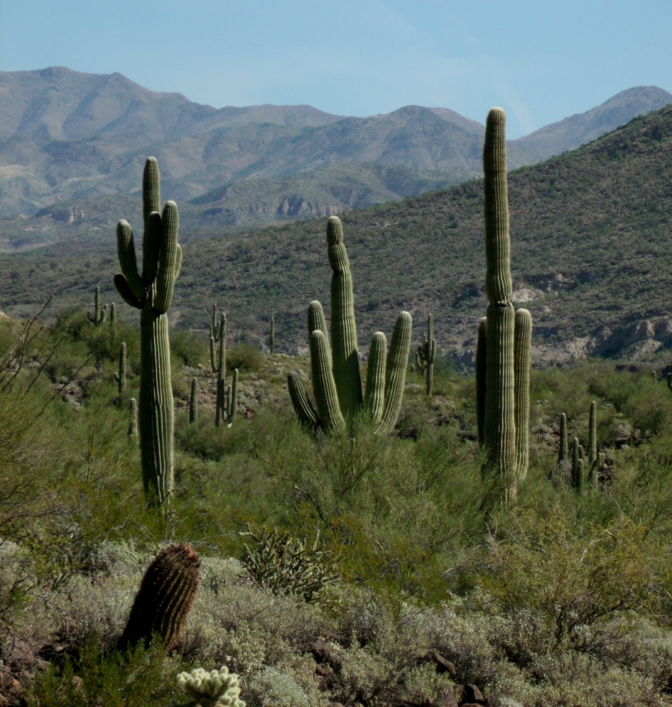 saguaro cacti trio in foreground