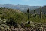 Saguaro cacti with desertscape and mountainpanorama