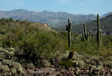 Saguaro cacti with desertscape and mountain panorama