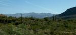 saguaro cacti with mountainpanorama