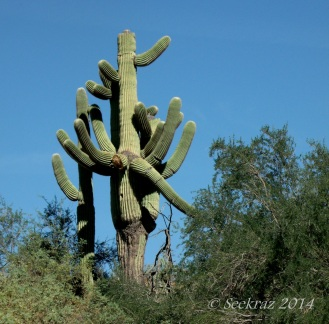 saguaro cactus gigantic multi-armed