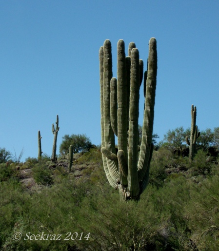 saguaro cacti towers too