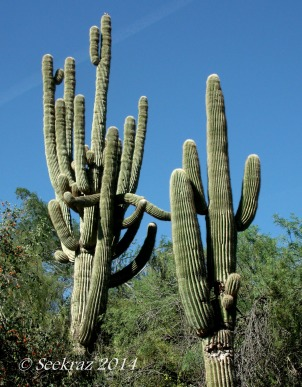 saguaro cactus towers