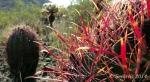 barrel cactus close-up with cacti inbackground