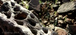 Cholla cactus skeleton