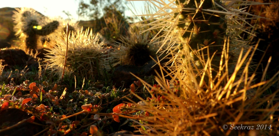 desert ground-cover and cholla at sunrise